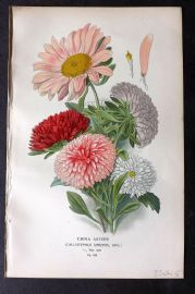 Step 1896 Antique Botanical Print. China Asters 132